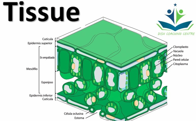 What Is A Tissue In Biology | Functions of connective tissue | Types of animal tissues | Types of plant tissue | What is permanent tissue | Three types of muscle tissue | Function of cardiac muscle