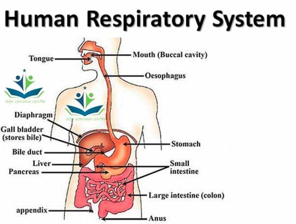 Human Respiratory System Class 10